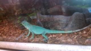 Video World's biggest blue iguana!!! download MP3, 3GP, MP4, WEBM, AVI, FLV September 2017