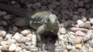 Grand Cayman Blue Iguana Almost Pure Guarding Her Nest