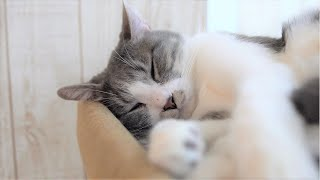 Japanese Cat Cafe Video Vol.3 猫カフェ癒し動画 Vol.3【かわいい猫カフェ】【Cute Cat Cafe】