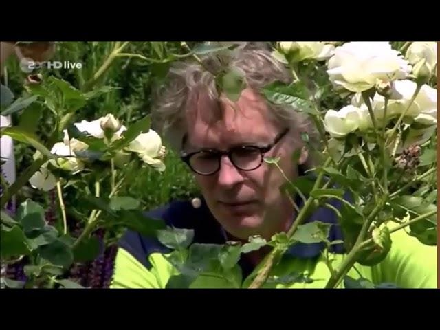 ZDF-Fernsehgarten: Rosen schneiden zur Verlängerung der Blühzeit