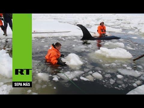 Rescatan del hielo a tres orcas en Rusia