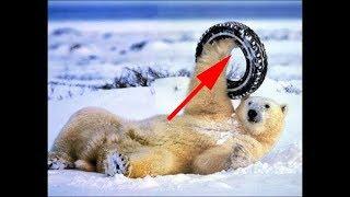 Лучшие приколы с медведями.Подборка смешных и интересных видео с медведями .