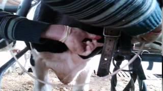 внутривенное введение растворов корове