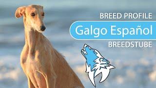 Galgo Español Breed, Temperament & Training