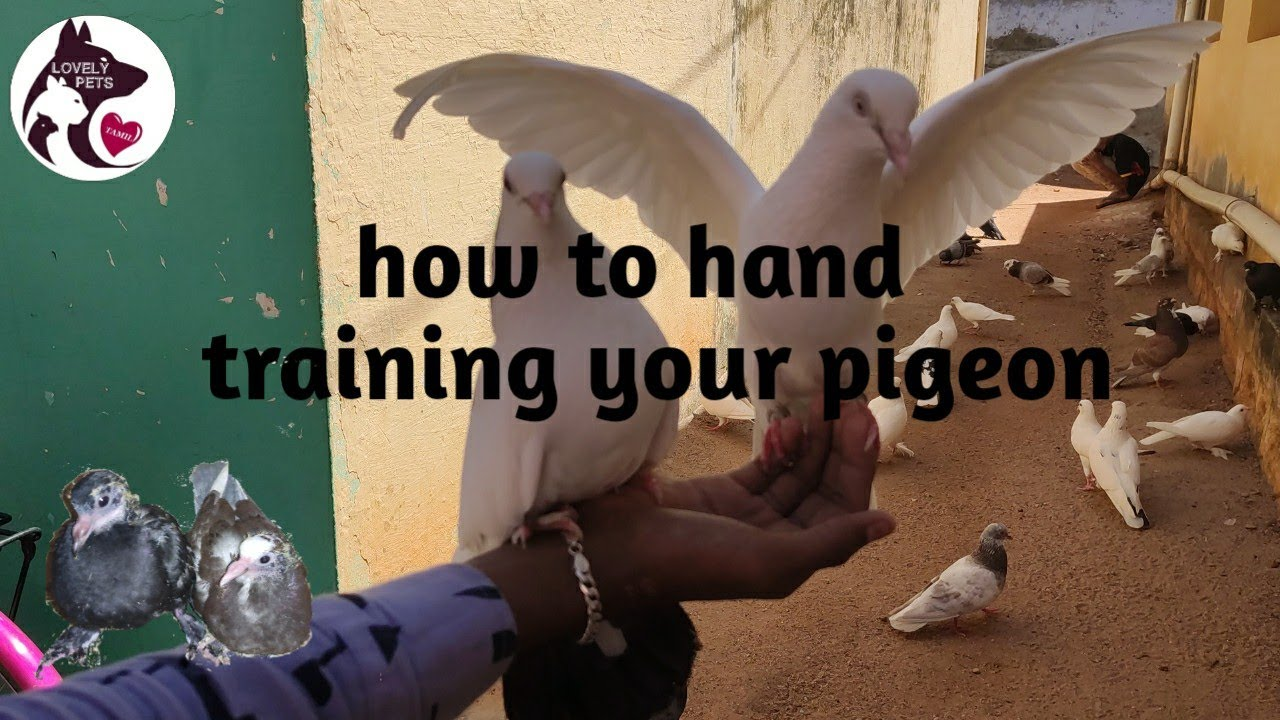 How to hand train your pigeon in Tamil
