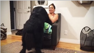 Funny Big Dogs Thinking They're Lap Dogs Trip Burger Pets