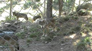 Loups Parc Animalier Les Angles