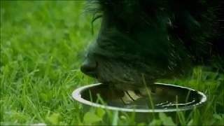 Dog Drinking Water In Slowmotion (FPS1000 Platinum)