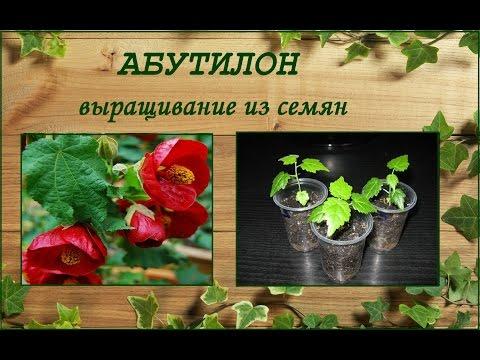 Абутилон - размножение семенами