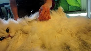 13 11 23 Persian kitty, Kalahari, gets a line cut