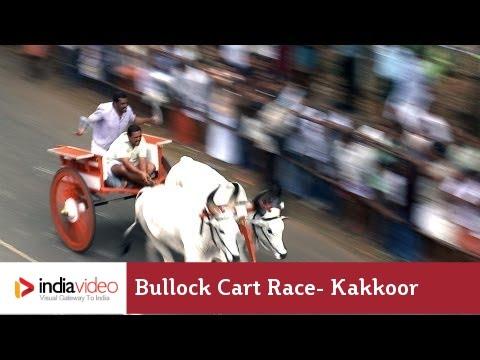 Bullock Cart Race, Kakkoor in Kochi