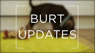 8 Week Standard Schnauzer | Burt Updates #1