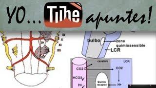 Fisiología del sistema respiratorio. Regulación. Control químico.