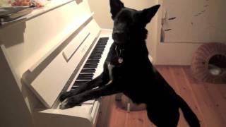 Border Collie X German Shepherd Mix Dog Playing The Piano
