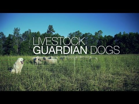 Sheep farming   Livestock Guardian Dogs