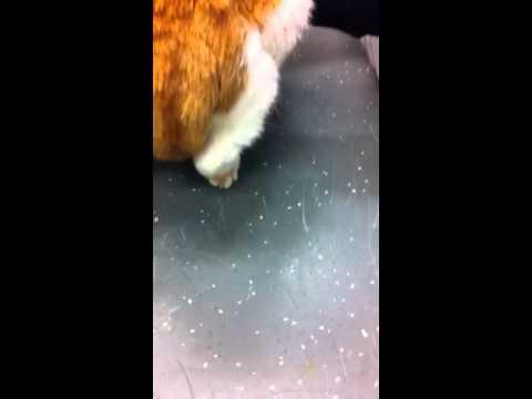 kat verlamd achterlijf