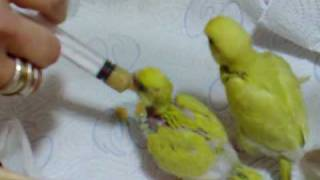 Hand feeding our baby budgies