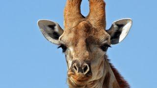 Онлайн зоопарк. Поддержка животных-донат на корм. Сегодня ночь жирафа.