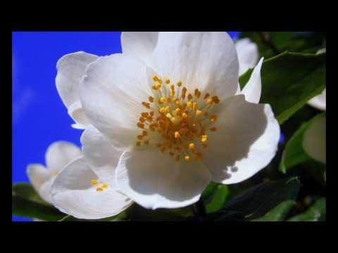 Molihua - Ein trad. chinesisches Lied über die Blume Jasmin