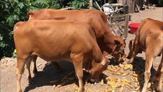 Bò giống danh bò vàng Việt nam