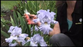 Deadheading Iris