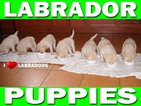 Кормление щенков лабрадора. Ожидание / реальность. Щенки лабрадора. Labrador Retriever Puppies