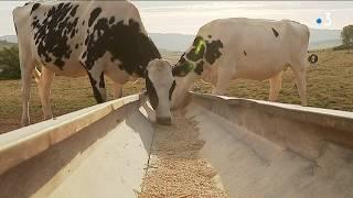 Sécheresse en Saône-et-Loire : des éleveurs vendent une partie de leur troupeau