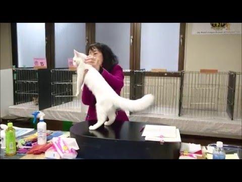 Amber-Eyed White Turkish Angora 5 months Nyanko Yokohama
