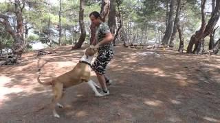 Воспитание собак в Ялте и Крыму. Американский бульдог, амбуль