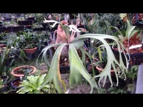 Platycerium Willinckii - Staghorn fern - Elkhorn