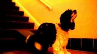 Tripod Training - Jester Cocker Spaniel - Using The Platform