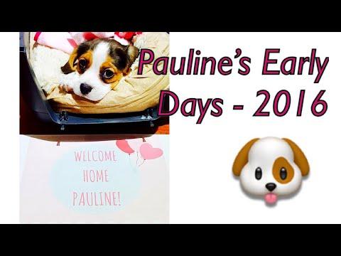 Beagle x Cavalier - Beaglier Pauline (9 Weeks - 20 Weeks)