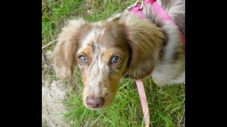 Dolly - Mini Dachshund - 2 Weeks Intensive Dog Training
