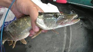 Летняя рыбалка на щуку. Охота на зубастую в Свердловская область.