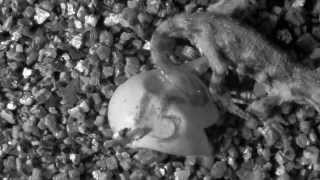 Tuatara hatching at Victoria University of Wellington