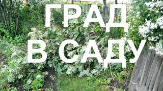 видео Как спасти урожай после града?