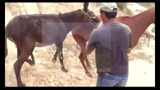 Virgin Mating Behavior of Donkeys - Donkey Mating with Female