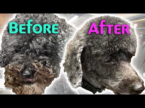 GROOMING a MATTED POODLE Mix Without Stress