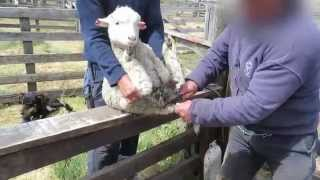 Exposed: Sheep Mutilated, Skinned Alive on Farms in the Network That Supplies Patagonia
