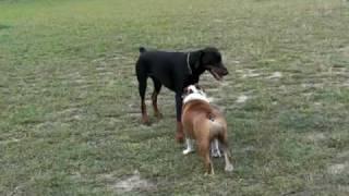 ドッグランでドーベルマンとジャンプして遊ぶブルドッグです。