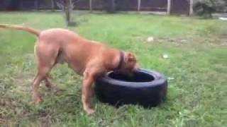 American Staffordshire Terrier Vs Opona Cz.2