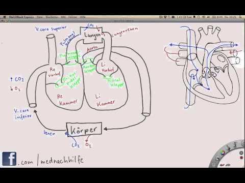 Überblick über Das Herz-Kreislauf-System