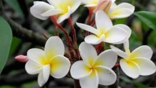 石原詢子 - しあわせの花