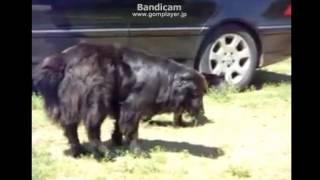 猫のケンカの仲裁に入る犬です。