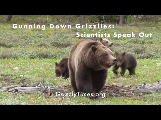 Gunning Down Grizzlies: Scientists Speak Out