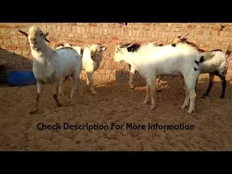 Repeat Barbari male flock@Barbari Goat Farm by Barbari Goat