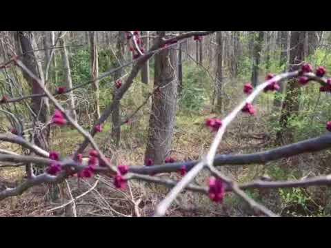 Prune American Redbud Tree In Early Spring! Episode 1