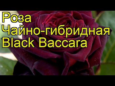 Роза чайно-гибридная Блек Баккара. Краткий обзор, описание характеристик, где купить саженцы