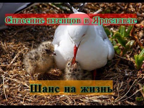 Вопрос: Чем и как кормят чайки своих птенцов в первые дни их жизни?