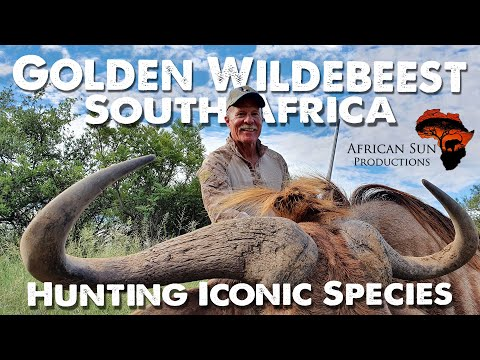 Hunting Golden Wildebeest - South African hunting video in Limpopo Province